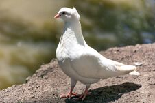 Beautiful White Pigeon Posing On Ground And Blurred Background Stock Photos