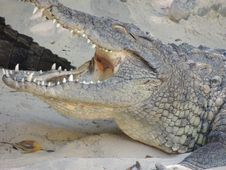 Free Crocodilia, Crocodile, Nile Crocodile, Reptile Stock Photos - 121556273