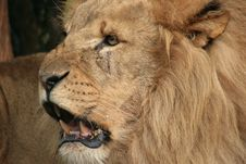 Free Wildlife, Lion, Mammal, Masai Lion Stock Photos - 121556653