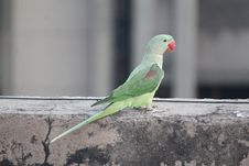 Free Bird, Parakeet, Parrot, Common Pet Parakeet Royalty Free Stock Photography - 121556687