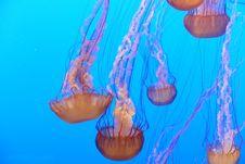 Free Jellyfish, Cnidaria, Marine Invertebrates, Marine Biology Stock Photography - 121556692