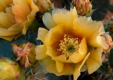Free Flowering Plant, Yellow, Plant, Prickly Pear Stock Photos - 121556723