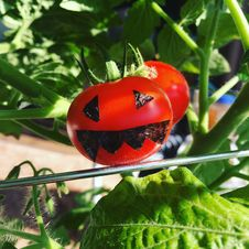 Free Tomato, Insect, Leaf, Potato And Tomato Genus Stock Image - 121556751