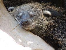 Free Mammal, Fauna, Viverridae, Snout Royalty Free Stock Image - 121556876