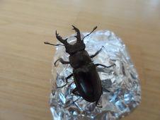 Free Insect, Beetle, Invertebrate, Arthropod Stock Photography - 121557042