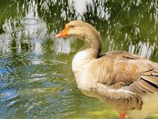 Free Bird, Water Bird, Goose, Ducks Geese And Swans Stock Photos - 121557143