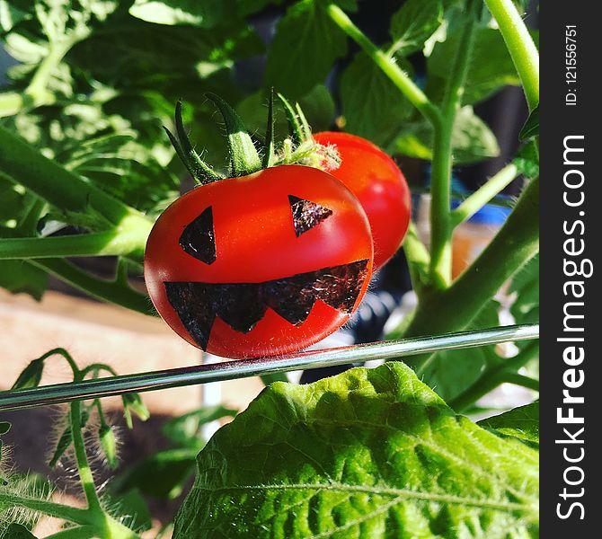 Tomato, Insect, Leaf, Potato And Tomato Genus