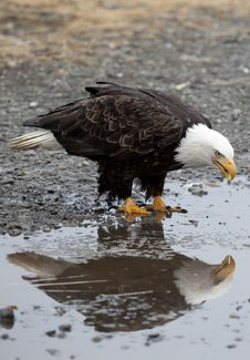 Free American Bald Eagle Stock Image - 12176311