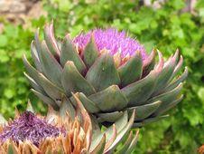 Free Plant, Cynara, Artichoke Thistle, Thistle Royalty Free Stock Photo - 121707395