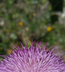 Free Purple, Thistle, Noxious Weed, Silybum Stock Photography - 121707442