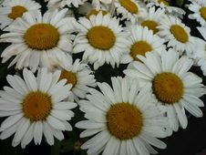 Free Flower, Oxeye Daisy, Daisy, Daisy Family Royalty Free Stock Photos - 121707508