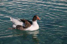Free Bird, Water, Duck, Water Bird Royalty Free Stock Photos - 121707618