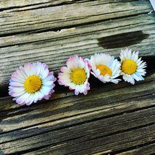 Free Flower, Daisy, Flora, Daisy Family Stock Image - 121707631