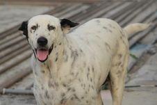 Free Dog Breed, Dog, Street Dog, Dalmatian Stock Image - 121707651