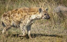 Free Hyena, Wildlife, Terrestrial Animal, Mammal Stock Photo - 121707710