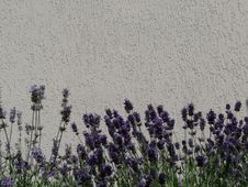 Free Lavender, English Lavender, Purple, Plant Royalty Free Stock Photography - 121707847