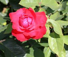 Free Rose, Rose Family, Flower, Floribunda Royalty Free Stock Images - 121708069