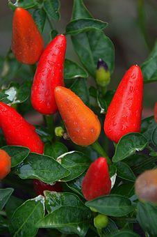 Free Vegetable, Bird S Eye Chili, Chili Pepper, Tabasco Pepper Stock Images - 121708114