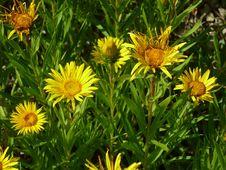 Free Flower, Plant, Golden Samphire, Daisy Family Royalty Free Stock Photo - 121708335