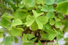 Free Plant, Leaf, Wood Sorrel Family, Herb Stock Photo - 121708470