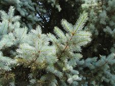 Free Tree, Spruce, Pine Family, Conifer Royalty Free Stock Image - 121933886