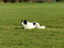 Free Landseer, Grass, Dog Like Mammal, Dog Breed Group Stock Photo - 121933960