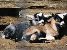 Free Goats, Goat, Fauna, Livestock Royalty Free Stock Photo - 121934015