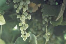 Free Grapevine Family, Leaf, Grape, Water Royalty Free Stock Photos - 121934048