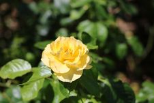 Free Flower, Rose Family, Yellow, Rose Royalty Free Stock Images - 121934099