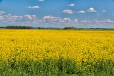 Free Rapeseed, Yellow, Field, Canola Stock Photography - 121934132