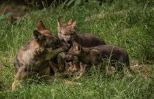 Free Wildlife, Fauna, Lycaon Pictus, Jackal Stock Photography - 121934252
