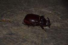 Free Insect, Beetle, Fauna, Dung Beetle Stock Photos - 121934353