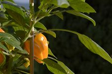 Free Plant, Leaf, Flora, Peppers Royalty Free Stock Image - 121934526