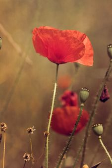 Free Flower, Poppy, Coquelicot, Poppy Family Royalty Free Stock Photography - 121934547