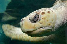 Free Turtle, Sea Turtle, Loggerhead, Terrestrial Animal Stock Images - 121934624