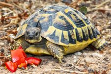 Free Tortoise, Turtle, Emydidae, Reptile Royalty Free Stock Image - 121934636