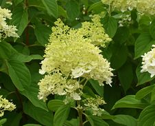 Free Plant, Hydrangea, Flower, Nannyberry Royalty Free Stock Images - 121934879