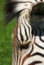 Free Zebra S Head Stock Image - 1220221