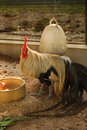 Free Rooster Royalty Free Stock Photos - 1220408
