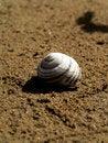 Free Sea Snail Shell Royalty Free Stock Image - 1221316
