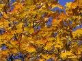 Free Golden Maple Stock Image - 1227581