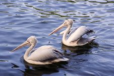 A Couple Of Pelicans Stock Photography