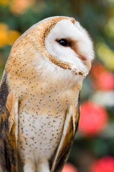 Free Barn Owl II Stock Image - 1221111