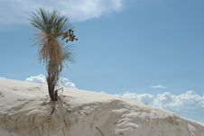 Free Yucca Tree In White Sand Dunes Stock Images - 1221444