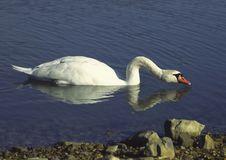 Free Mute Swan I Stock Image - 1223121