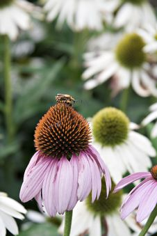 Mating On Cone Flower Royalty Free Stock Photography