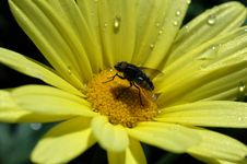 Thirsty Fly. Stock Photos