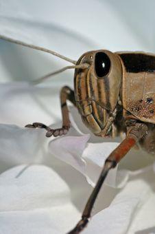 Free Grasshopper Portrait. Royalty Free Stock Photos - 1225048