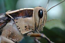 Free Grasshopper Portrait. Royalty Free Stock Photo - 1225095