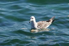Free Swimming Sea-gull Stock Photos - 1228033